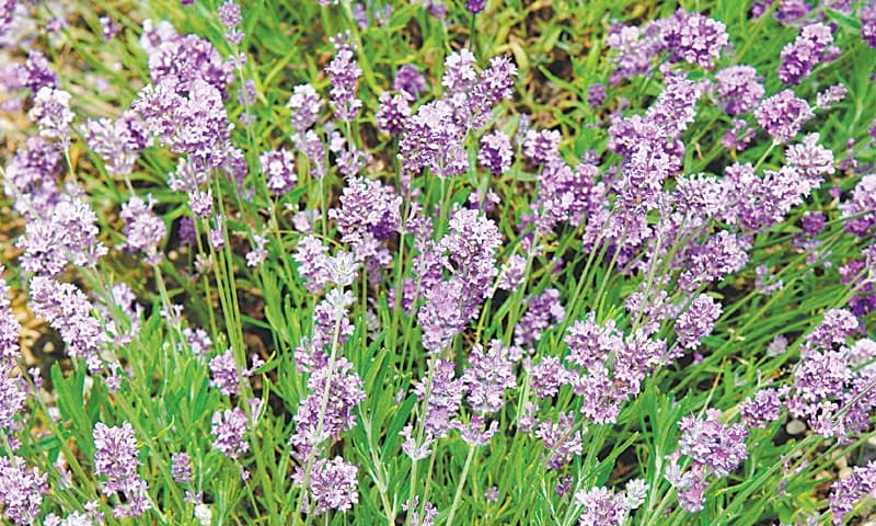 Fragrant lavender 'Lady'