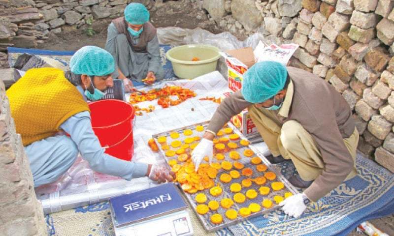 Farmers in Peochar valley cut red persimmons for drying. — Dawn