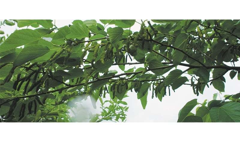 White mulberries