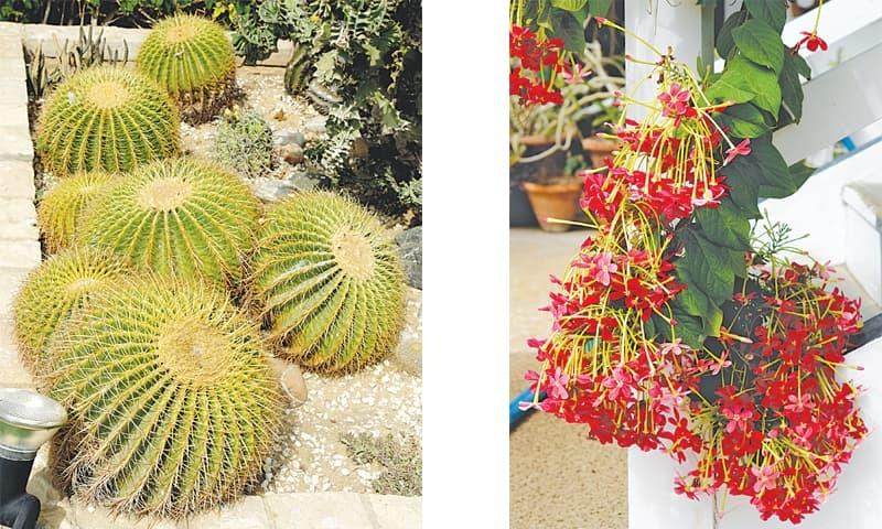 Awesome cacti & Rangoon creeper