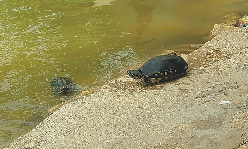 A turtle on Saturday follows in the footsteps of the other reptile that is already into the Haleji lake.