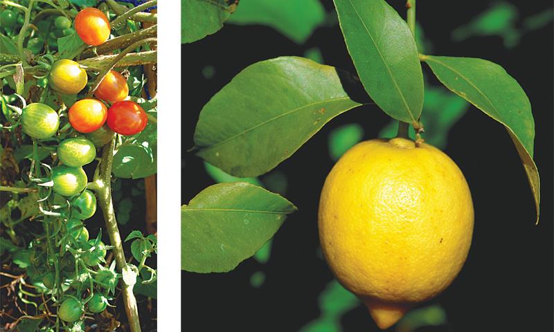 Cherry tomatoes & Lovely lemon
