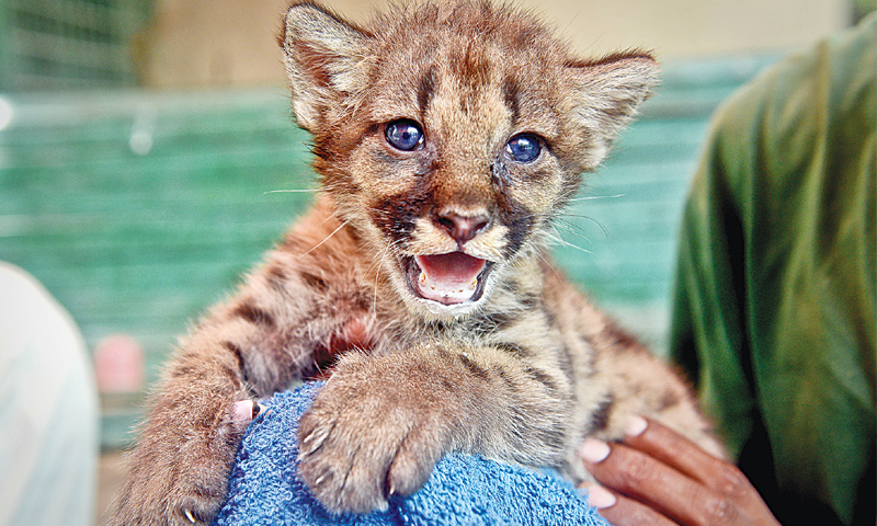 A file photo of the last puma cub.