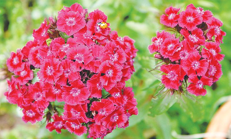Sweet williams + ladybird