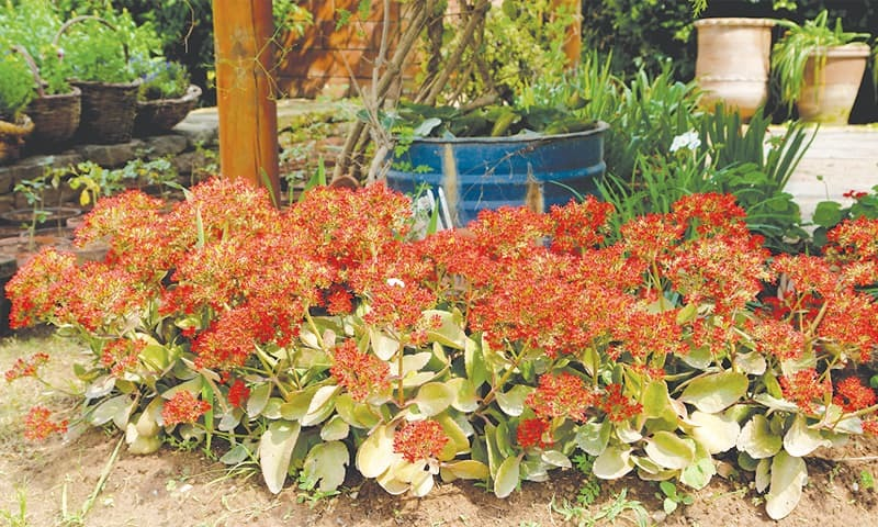 'Kalanchoes' take heat and drought but do enjoy a little shade