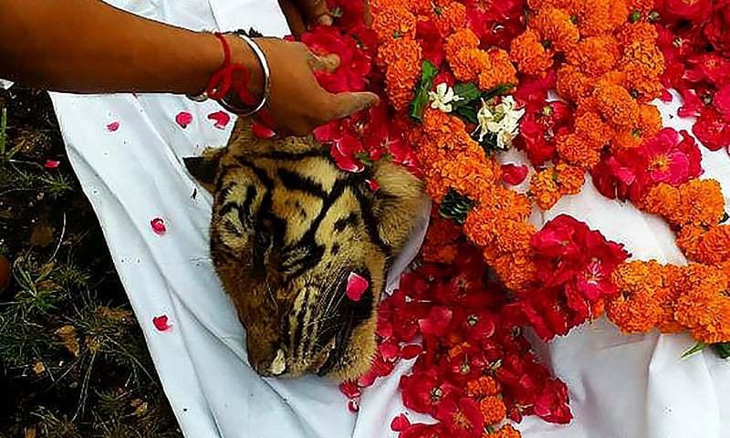 Machali, India's oldest surviving tigress dies