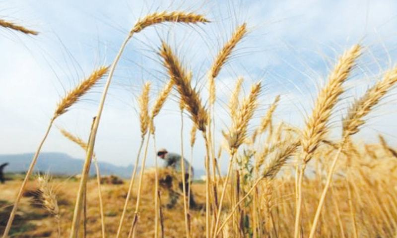 wheat crisis in pakistan essay Essay: water crisis in pakistan god has blessed pakistan with abandoned water resources, with water flowing down the himalayas and karakorum heights, from the world's largest glaciers, a free and unique bounty of nature for this land of alluvial plains.
