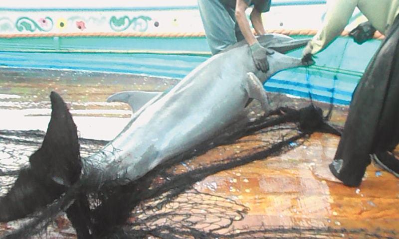 Entangled Bottlenose Dolphin Released Back Into Sea