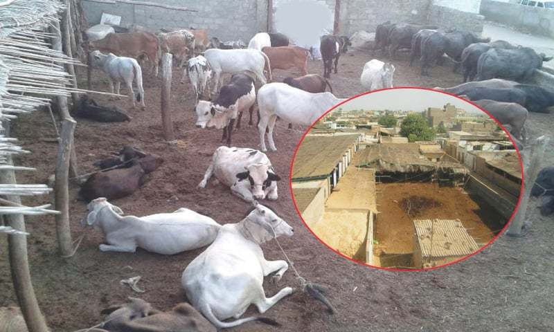 essay on slaughter house Cattle slaughter, especially cow slaughter is a controversial topic in india  because of the cattle's  many butcher houses were banned and restrictions  were put on the slaughter of cow and sale of beef in the sikh empire, as following  the.