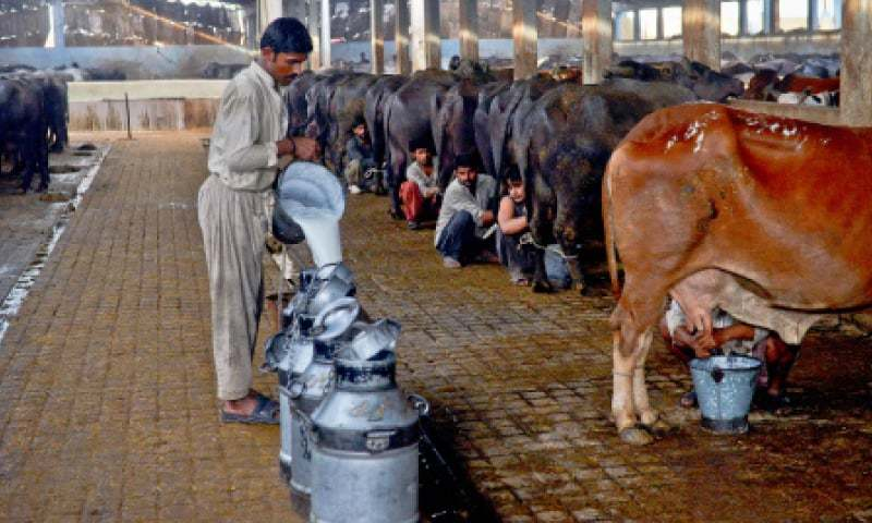 Milking under way at a dairy farm in Bhains Colony.  / Photos by Fahim Siddiqi / White Star
