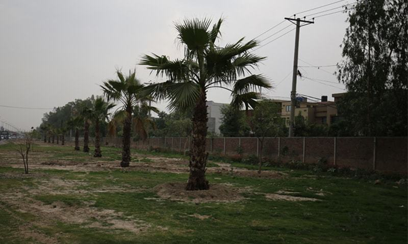 Date palm obsession in Lahore