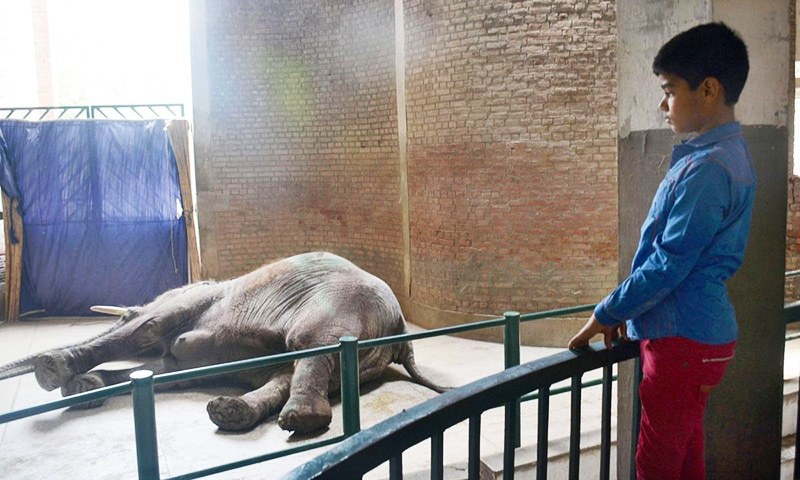 LAHORE: A child stares at the body of the Lahore Zoo's only elephant, Suzi.─Online
