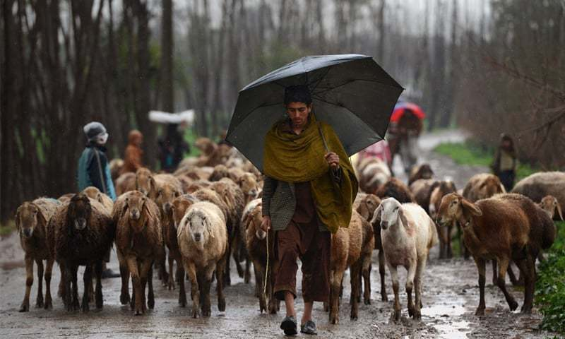 With his herd of sheep a Kochi man moves on to find shelter | Photo by Abdul Mujeeb Goraya / White Star