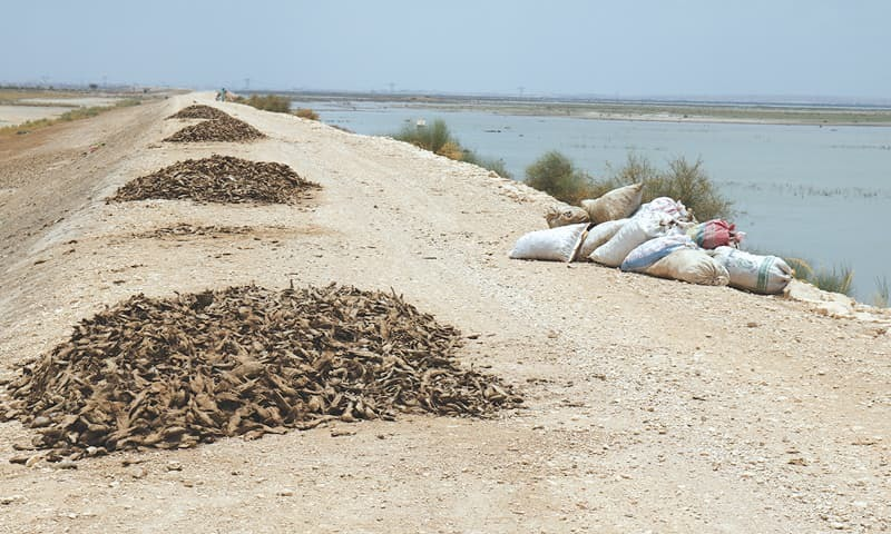 DEAD fish collected into piles on the embankment along the lake. —Photos by writer