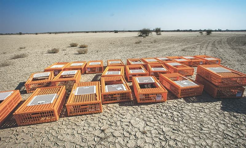The great game: The politics of houbara hunting in Pakistan