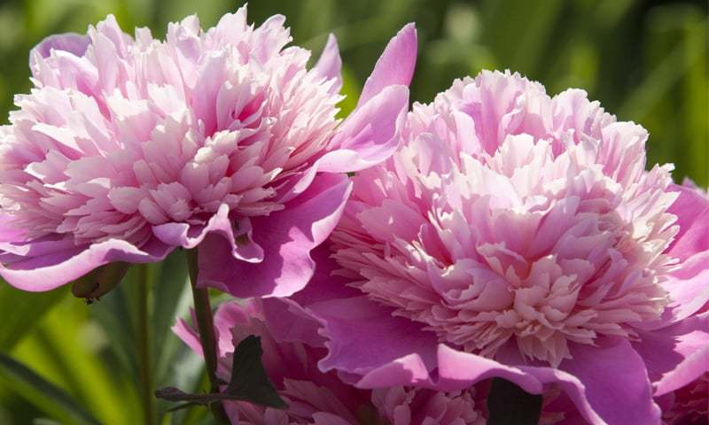 Paeonia | Photos by the writer
