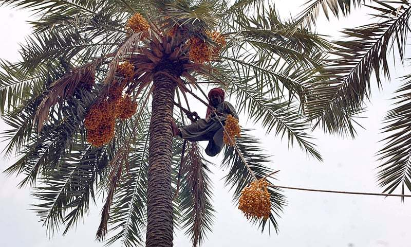 FAISALABAD: A farmhand picks dates at a farm on Thursday. Traditional farming and harvesting methods mean the country loses a significant amount of its agriculture produce. —APP