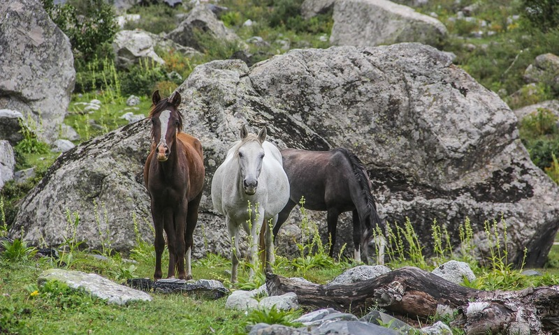 Horses glare at trekkers on the way to Kooh Lake.─Photo by author