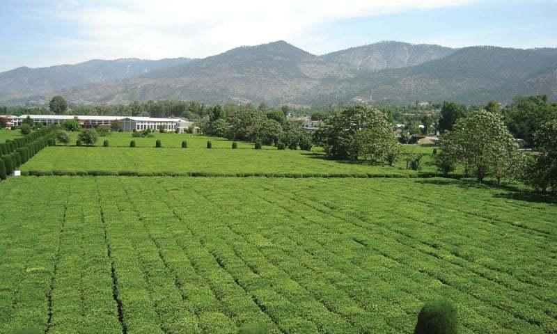 پاکستان میں گذشتہ 20 برس کے دوران چائے کی برآمد میں 350 فیصد اضافہ ہوا ہے — فوٹو/ ڈان اخبار