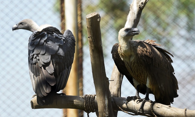 This photograph taken on September 20, 2017, shows white-backed vultures in their enclosure at the Vulture Conservation Centre run by World Wide Fund for Nature-Pakistan (WWF-P) in Changa Manga, about 80km from Lahore. —AFP