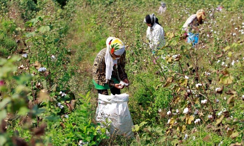 Ahmedabad: In this file photo, farmers are harvesting cotton in a field.—Reuters