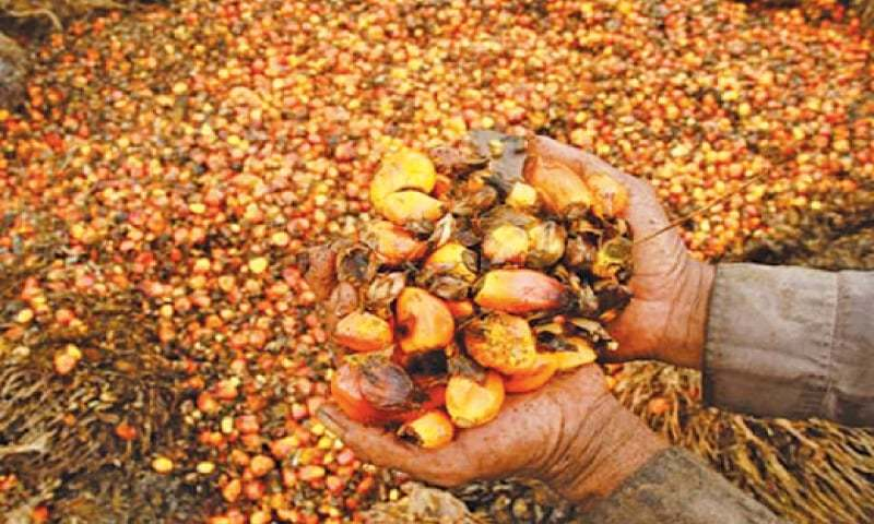 A WORKER shows palm oil fruits in this March 25 photo.—Reuters