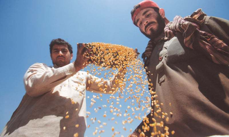 PESHAWAR: Farmers harvest wheat on a farm in this file photo.—Reuters