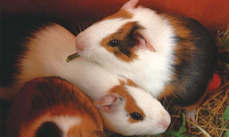 Cute Guinea pigs | Photo by the writer