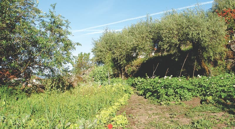 Vegetables shaded by ancient olive trees  Photos by the writer