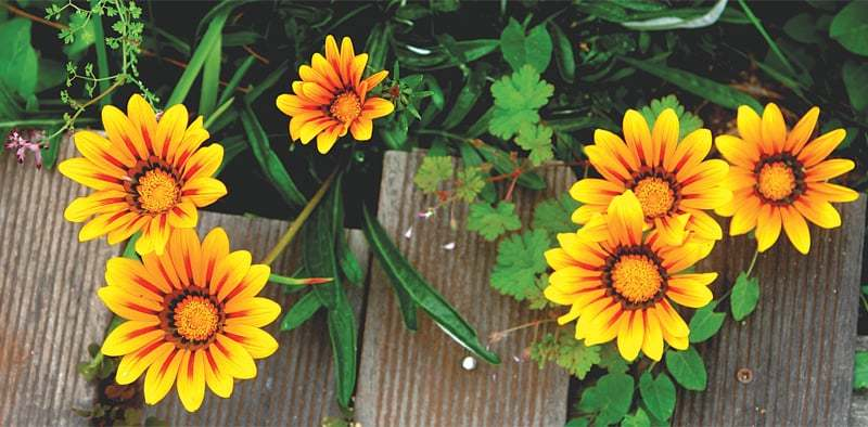 Gazania | Photos by the writer