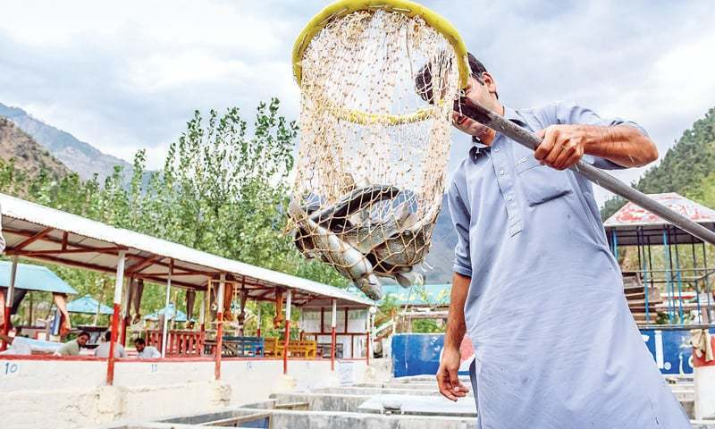 A man works at a trout fish farm in Madyan Swat. — Dawn