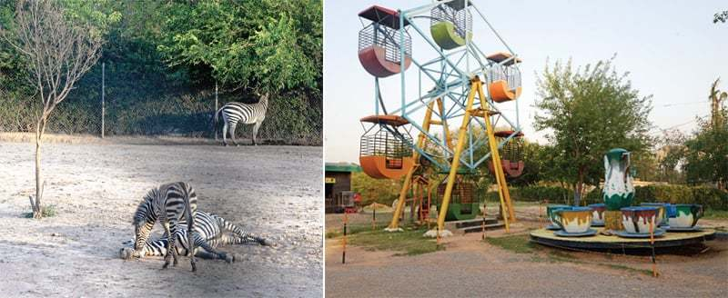 Zebras laze around on a rough ground while the other picture shows rides installed within the zoo premises. — Photos by Ishaque Chaudhry