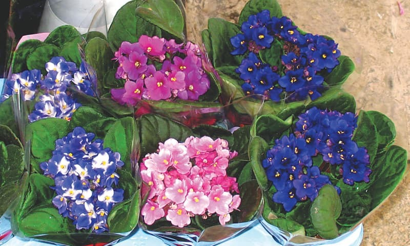 African violets | Photos by the writer