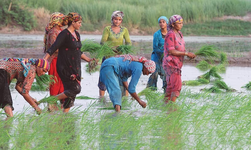 WOMEN sowing rice in a field on the outskirts of Lahore. —White Star