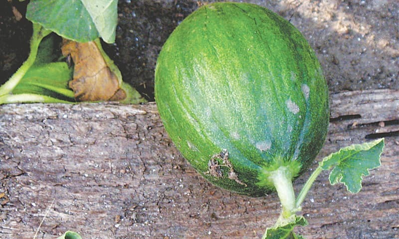 Melon on the vine | Photos by the writer