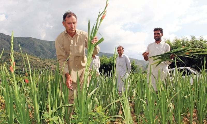 In this file photo, a farmer tends to his gladiolus flower crop in Swat.