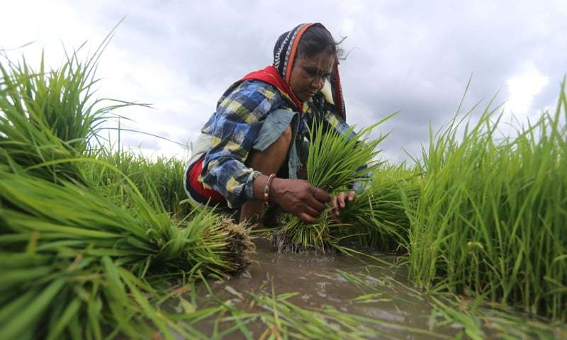 AN Indian farm worker collect paddy saplings to plant it in a field on the outskirts of Bhopal on Tuesday.—AFP