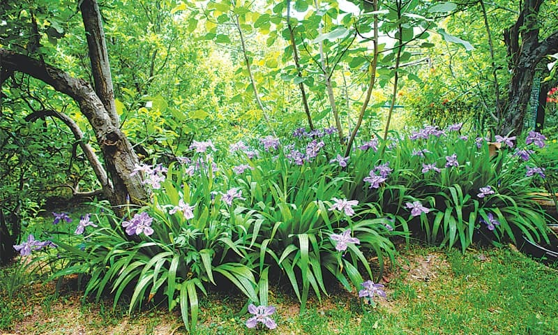 Iris in a forest garden setting | Photos by the writer