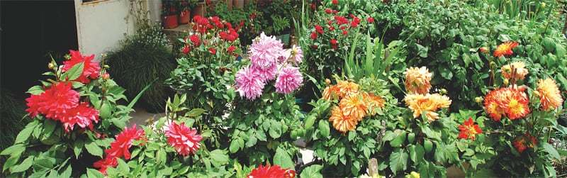 Dahlias by the dozen | Photos by the writer