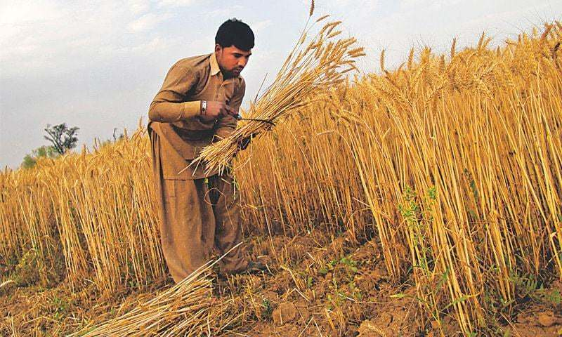 A farmer harvests wheat crop in Chakwal disctrict of Punjab. Bank lending to agriculture sector has improved significantly in recent years. However, small farmers lacking access to institutional financing are still at the mercy of local lenders who charge exorbitant markup rates.—File photo