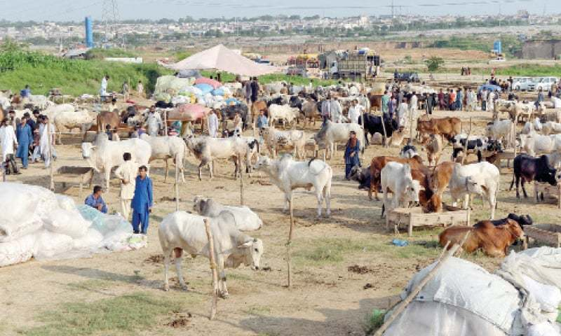 A view of the I-12 sacrificial animal market. — Photo by Mohammad Asim