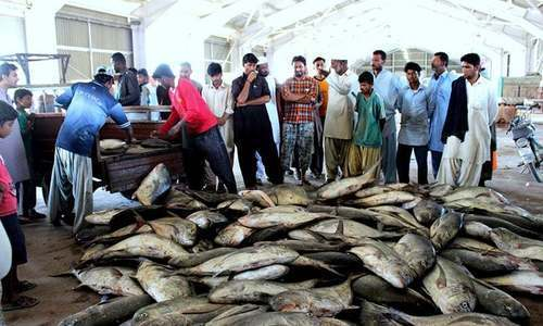 Pakistan can contribute significantly to the national economy by developing proper fish handling and processing facilities and, at the same time, complying with the IOTC requirements, says WWF-P official. ─ File photo
