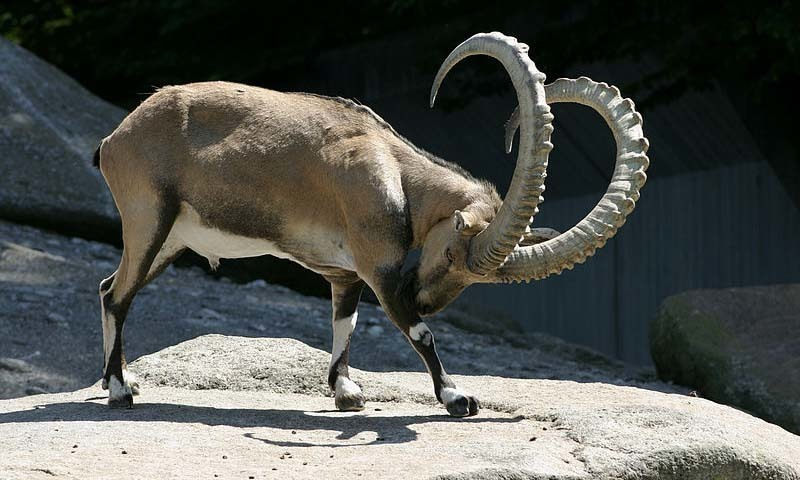 Two hunters illegally hounded a 10-year-old markhor last week in Chitral and escaped after firing at the animal. —Dawn Archives