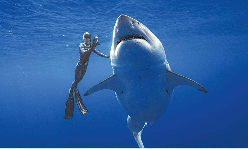 OAHU (US): A shark researcher swims with a great white shark off the shore of Oahu, Hawaii.—AP
