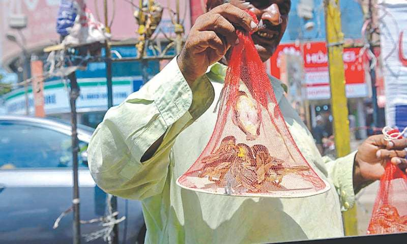 A MAN sells sparrows in a net pouch. Such cruel scenes are witnessed across the city as vendors goad people to set free trapped birds as sadqa (charity).—White Star