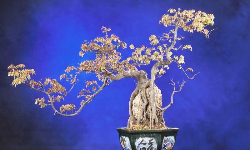 بونسائی درختوں کو جاپان کی ثقافت کا حصہ سمجھا جاتا ہے—فائل فوٹو: وکی پیڈیا