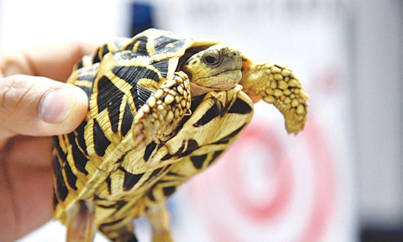 MANILA: A rare tortoise seized by Philippines Customs found at Manila airport.—Reuters