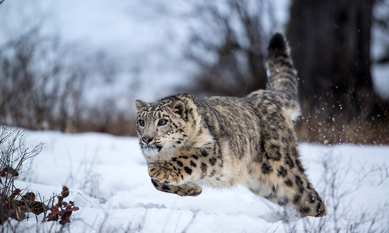 Wildlife experts have expressed concern over an alarming decline in the population of snow leopards in Pakistan. —Photo courtesy: Paul Sangeorzan.