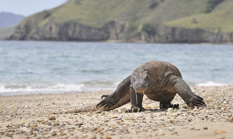 This Dec 2, 2010, file photo shows a Komodo dragon searching the shore for prey.—AFP