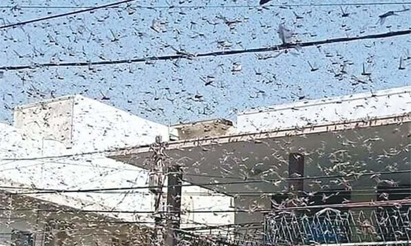 Govt allocates Rs500m to control locust attack, NA body informed